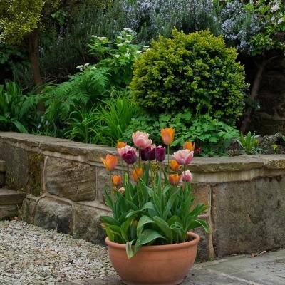 Pot of tulips, Horsforth back yard