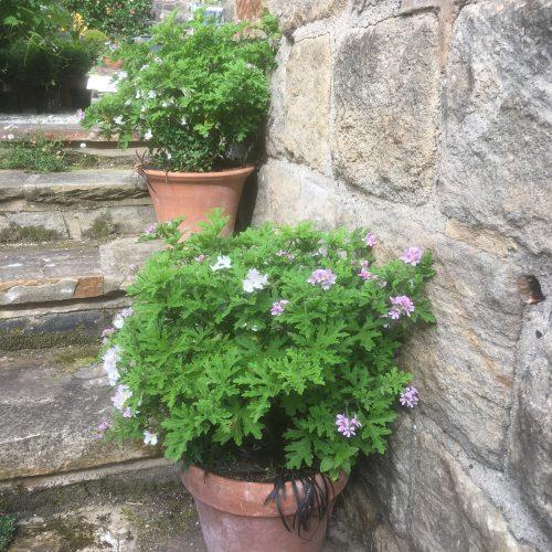 pelargoniums in terracotta pots
