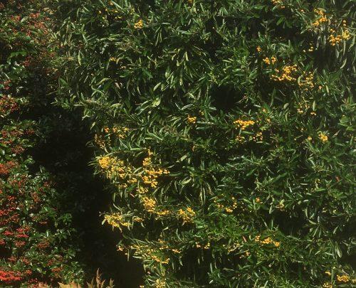 Berrying shrubs