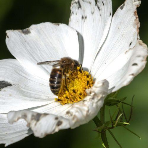 Bee on Japanese anemone